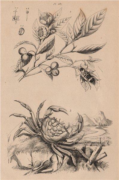 Associate Product Thanasimus (Ant Beetle). Thé (Tea) plant. Thelphusa fluviatilis. Crab 1834