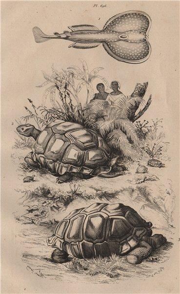 Associate Product Torpille (Electric ray). Tortues 1834 old antique vintage print picture