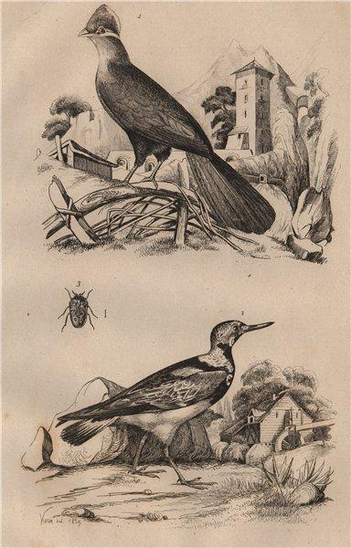Associate Product Touroco (Guinea Turaco bird). Tournepierre (Eurasian Wryneck). Trachyde 1834