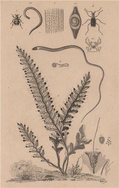 Associate Product Trichius.Trichina.Whipworm.Trichognathe.Trichomane (Climbing Bristle Fern) 1834