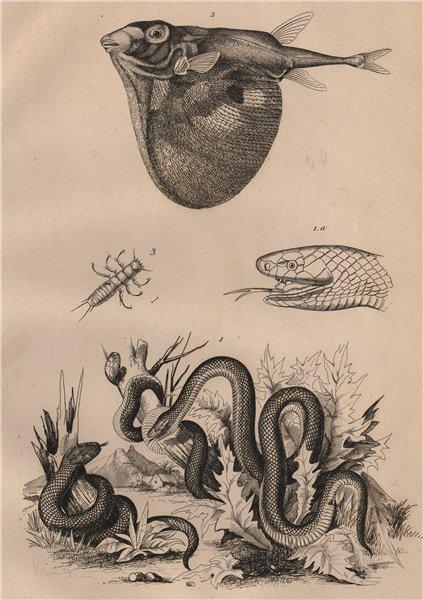 Associate Product Trimérésure (Gartersnake). Triodon (Threetooth pufferfish) Triongulin 1834