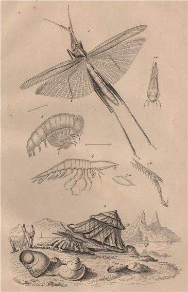 Associate Product Truxalis. Turbo cornutus (Horned Turban). Typhis Oxycéphale 1834 old print