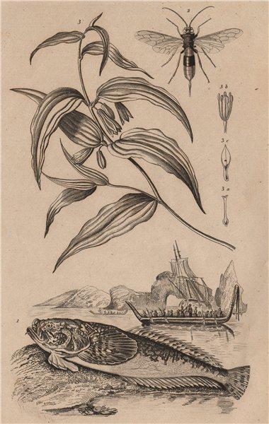 Associate Product Uranoscopus (Atlantic Stargazer) Urocère (Black horntail sawfly) Uvularia 1834