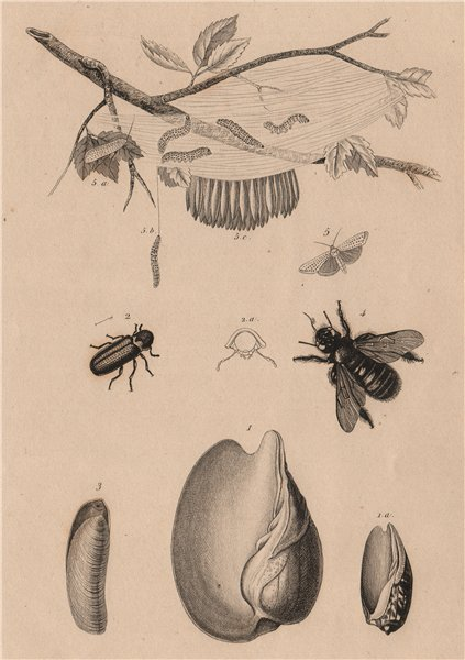 Associate Product Volute. Vrillette (Beetle). Vulselle. Xylocopa (Carpenter Bee). Yponomeuta 1834