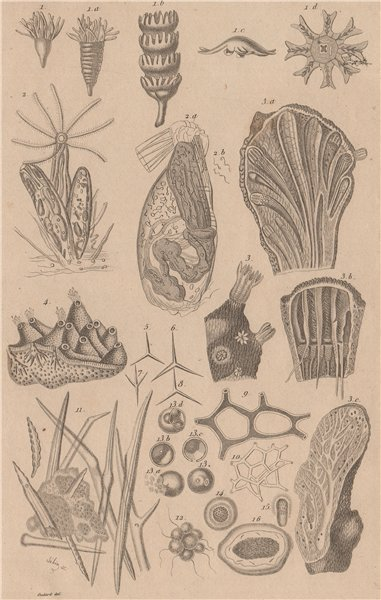 Associate Product ZOOPHYTES. various. Animals 1834 old antique vintage print picture