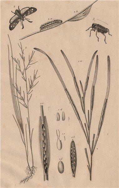 Zostera marina/eelgrass/seawrack.Zygaena/Six-spot Burnet.Zygopinae/Weevil 1834