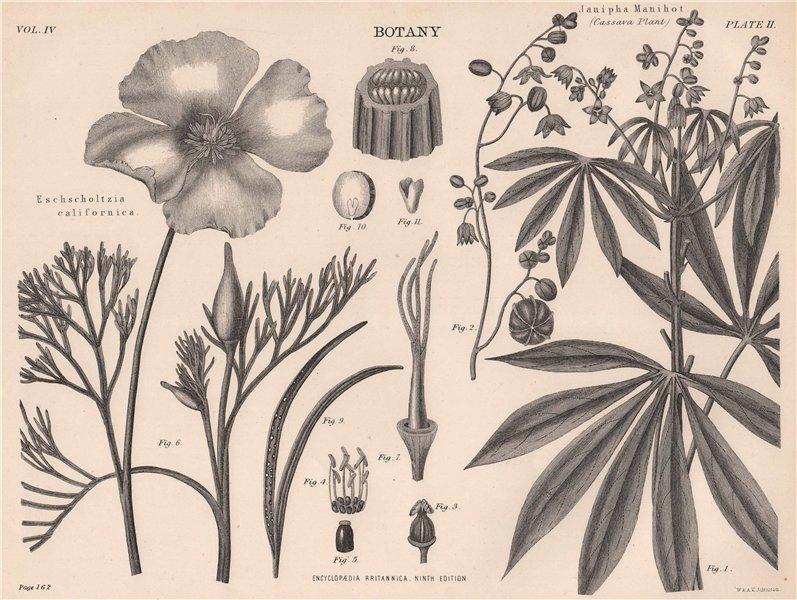 Associate Product Eschscholtzia Californica (California Poppy); Janipha Manihot (Cassava) 1898