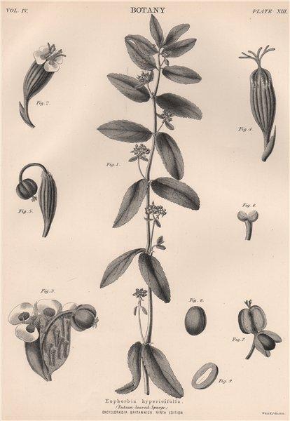 Associate Product Euphorbia hypericifolia. (Tutsan-Leaved Spurge) 1898 old antique print picture