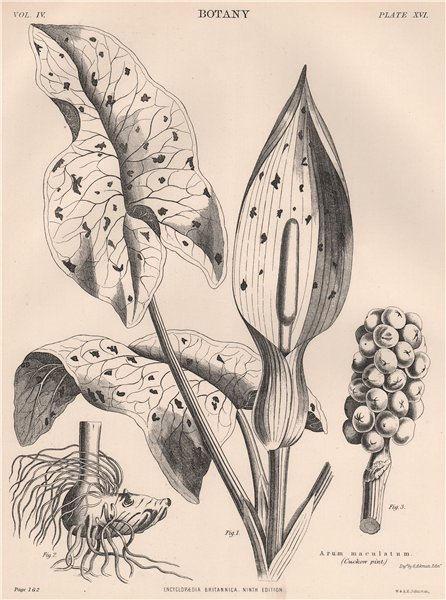 Associate Product Arum maculatum (Cuckoo pint) 1898 old antique vintage print picture