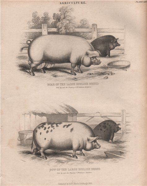 Associate Product Agriculture. Boar & Sow of the large English Breed. BRITANNICA 1860 old print