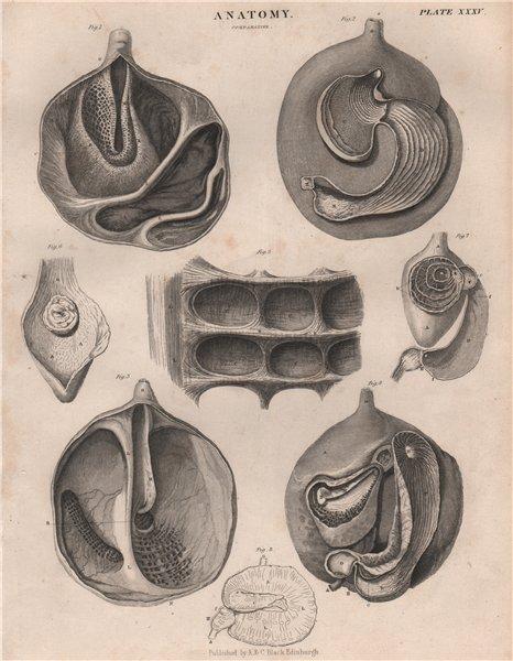 Associate Product Anatomy; Comparative 1. BRITANNICA 1860 old antique vintage print picture