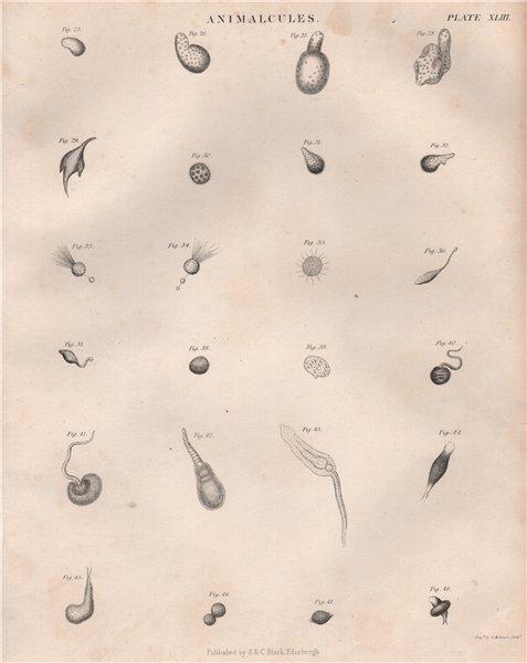 Associate Product Animalcules. Protozoans 2. BRITANNICA 1860 old antique vintage print picture