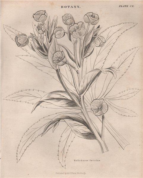 Associate Product Helleborus Foetidus (stinking hellebore, dungwort, setterwort, bear's foot) 1860
