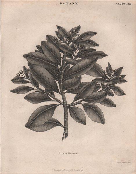 Associate Product Drimys Winteri (winter's bark or canelo). BRITANNICA 1860 old antique print