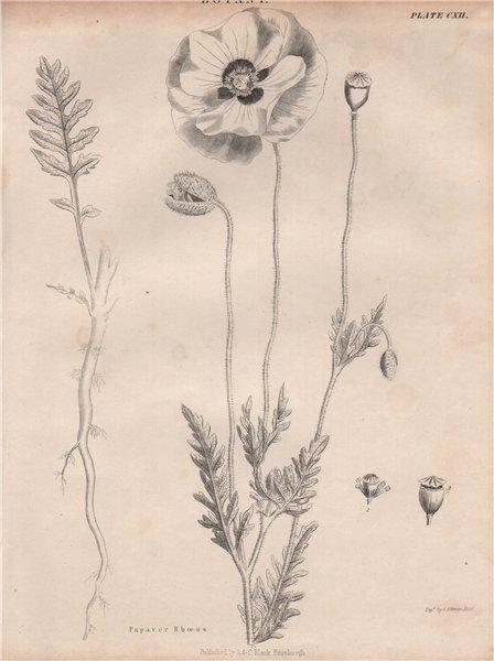 Papaver Rhoeas (common corn field Flanders red poppy, coquelicot, headwark) 1860