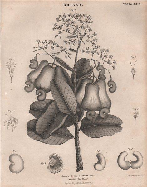 Associate Product Anacardium occidentale (Cashew Nut Tree). BRITANNICA 1860 old antique print