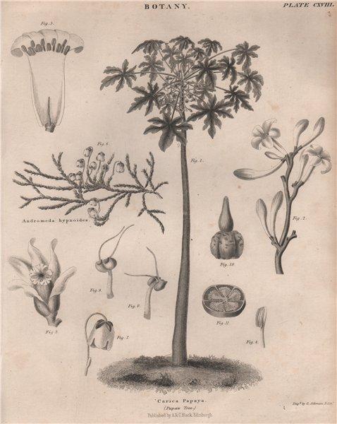 Associate Product Carica Papaya (Papaw Tree). Harrimanella hypnoides (moss bell heather) 1860