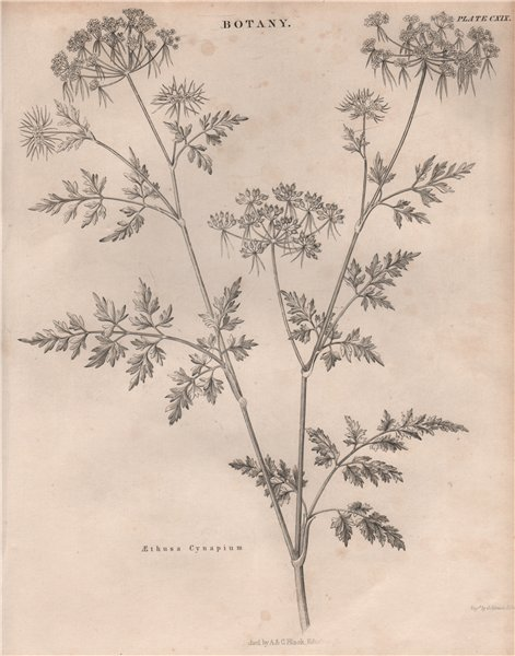 Associate Product Aethusa Cynapium (fool's parsley, fool's cicely, poison parsley) BRITANNICA 1860