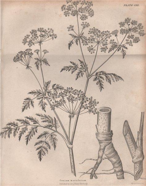 Associate Product Conium maculatum (poison hemlock). BRITANNICA 1860 old antique print picture
