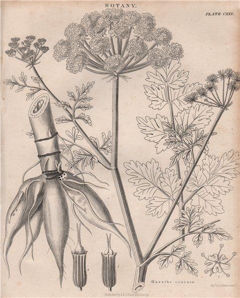 Associate Product Oenanthe crocata (water dropworts). BRITANNICA 1860 old antique print picture