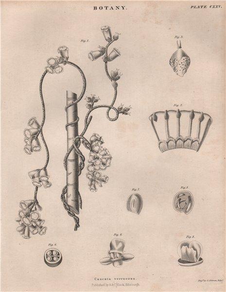 Associate Product Cuscuta verrucosa (dodder). BRITANNICA 1860 old antique vintage print picture