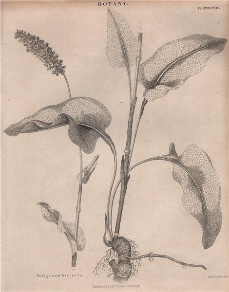 Associate Product Polygonum Bistorta (bistort, common bistort). BRITANNICA 1860 old print