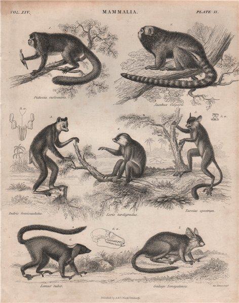 Associate Product Night monkey. Marmoset. Indri. Loris. Spectral tarsier. Lemur. Bushbaby 1860