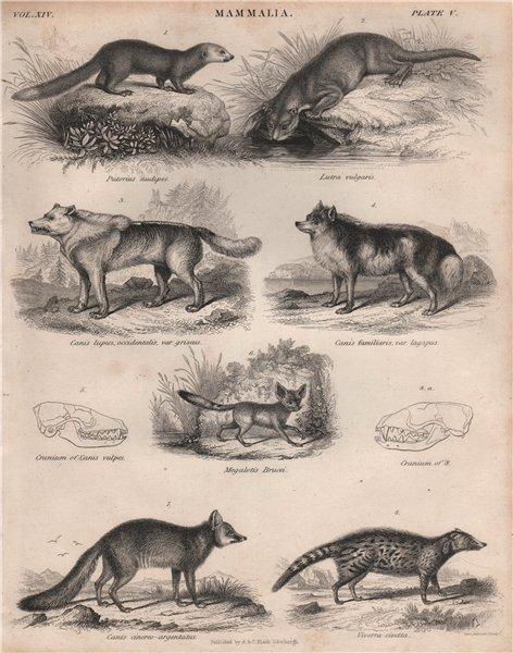 Associate Product MAMMALIA. Malayan weasel. Otter. Wolf. Dog. Fennec. Grey fox. African civet 1860
