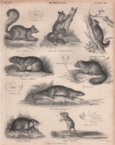 Associate Product Fox squirrel. Aye-aye. Assapan. Marmot. Dormouse. Water Rat. Hamster.Jerboa 1860