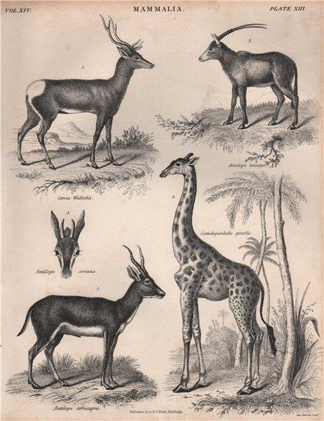 MAMMALIA. Tibetan red deer. Arabian oryx. Giraffe. Blackbuck. BRITANNICA 1860
