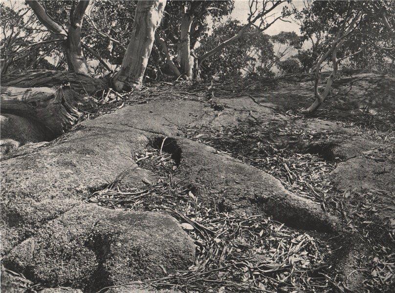 Associate Product Buffalo Mountains. Snow Gums growing on Granite Tor. Victoria, Australia. 1908