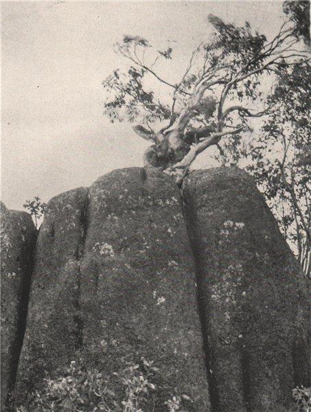 Associate Product Buffalo Mountains. Dwarfed Snow Gum on a Granite Tor. Victoria, Australia 1908