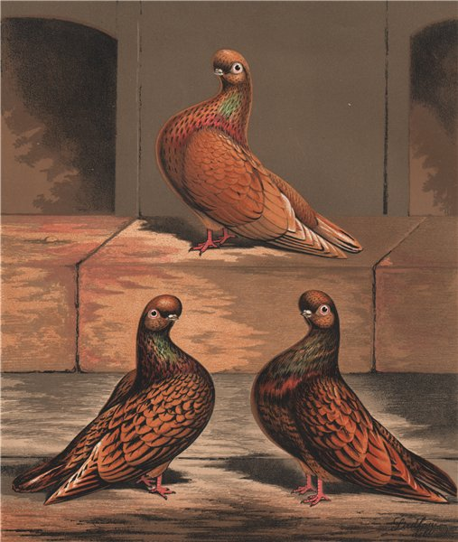 Associate Product PIGEONS. Almond Tumbler cock; 1½, 2½ & 4 years old. Chromolithograph 1880