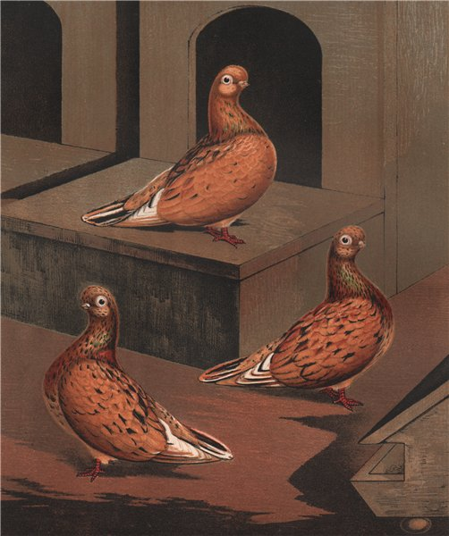 Associate Product PIGEONS. Almond Tumbler hen; 1½ years; 2½ years; 4 years. Chromolithograph 1880