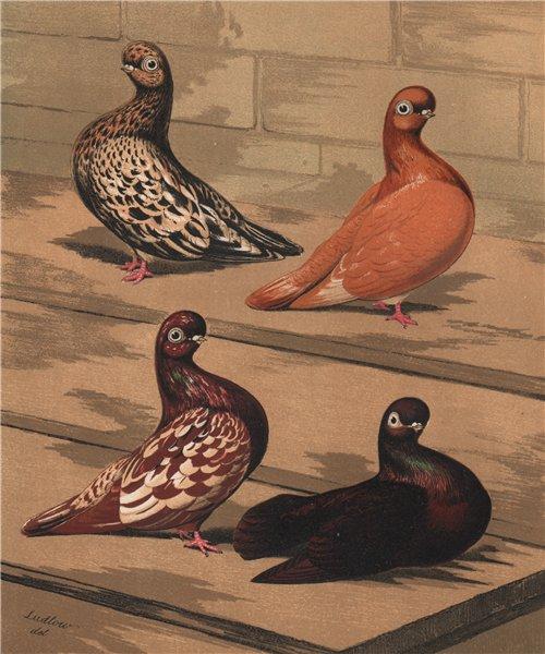 Associate Product PIGEONS. Almond Tumbler. Yellow Red Agate Splash/Mottle; Kite 1880 old print