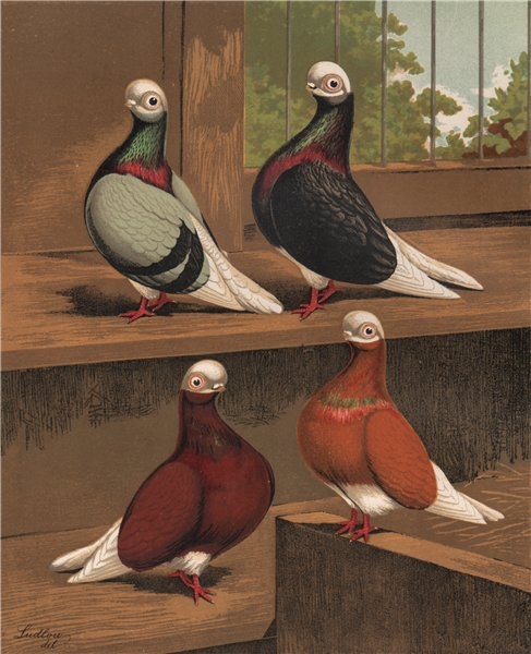 Associate Product PIGEONS. Short-Faced Bald-Heads; Blue; Black; Red; Yellow. Chromolithograph 1880