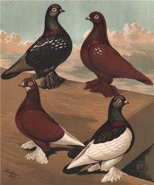 PIGEONS. Flying Tumblers; Black & Red Rose-Wing/Badge; Black Saddle 1880 print