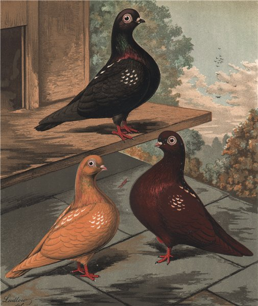 Associate Product PIGEONS Flying Tumbler. Clean legged Black/yellow/red mottled Rose winged 1880