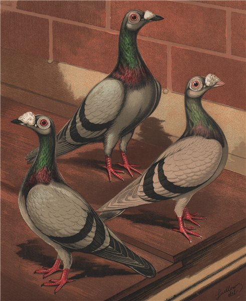 Associate Product PIGEONS. Young & old Blue & Silver Dun Dragoons. (London Fancy) 1880 print