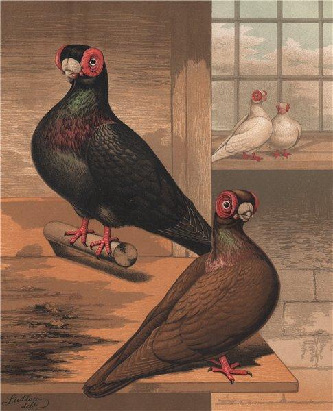 Associate Product PIGEONS. Black & Dun Barbs. Antique chromolithograph 1880 old print