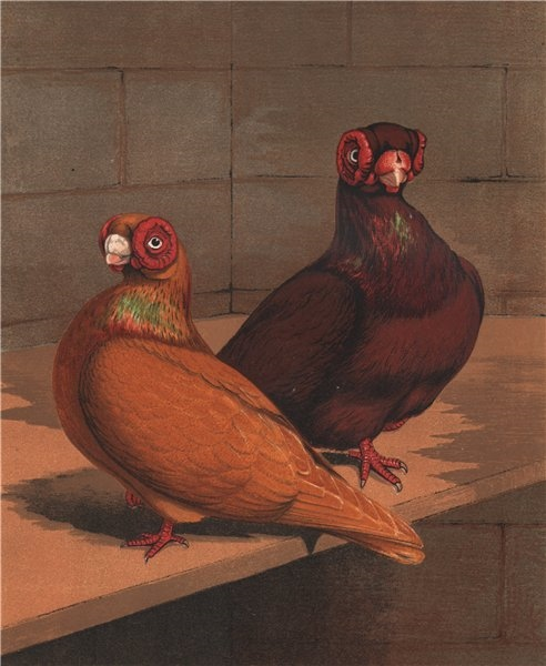 Associate Product PIGEONS. Red & Yellow Barbs. Antique chromolithograph 1880 old print