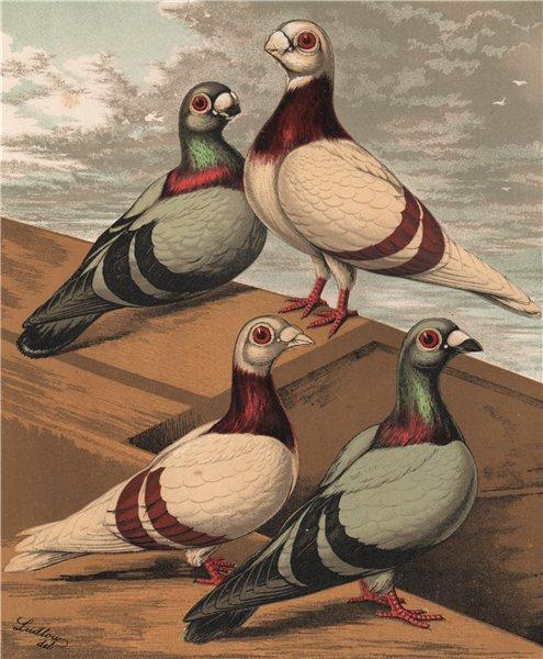 Associate Product PIGEONS. Short & Long-faced Antwerps; Silver-Dun Blue. Chromolithograph 1880