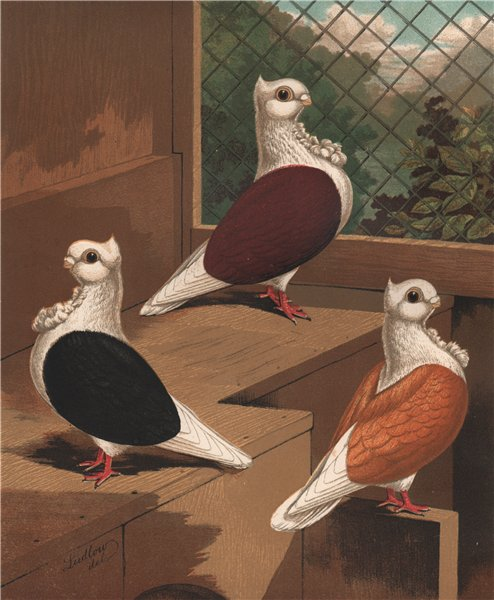 Associate Product PIGEONS. Turbits; Black; Red; Yellow. Antique chromolithograph 1880 old print