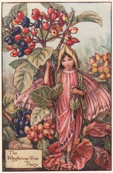 Associate Product Wayfaring-Tree Fairy by Cicely Mary Barker. Autumn Flower Fairies c1935 print