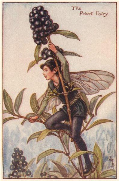 Associate Product Privet Fairy by Cicely Mary Barker. Autumn Flower Fairies c1935 old print