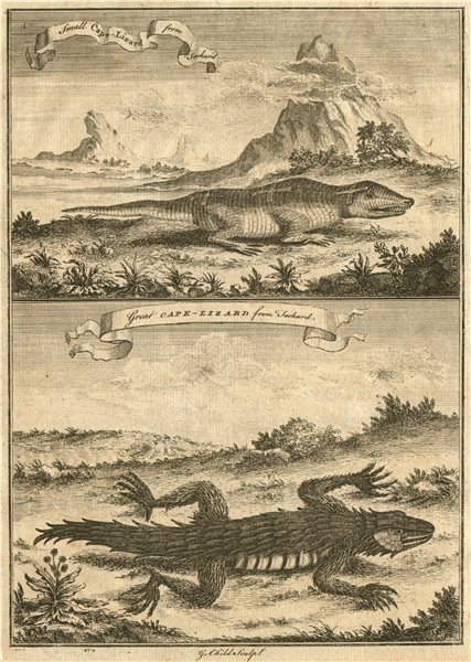 Associate Product SOUTH AFRICAN REPTILES. Small Cape Lizard. Great Cape Lizard. From TACHARD 1746