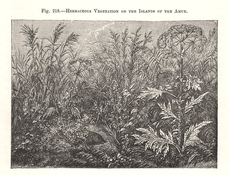 Associate Product Herbaceous Vegetation on the Islands of Amur. Russia 1885 old antique print