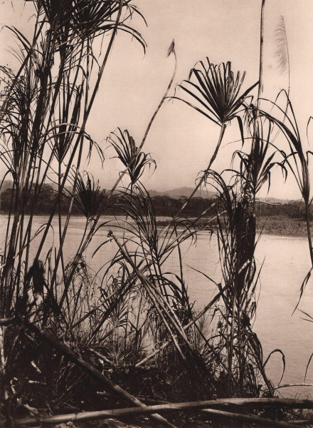Dense reed covers the banks of the River Beni. Bolivia 1928 old vintage print