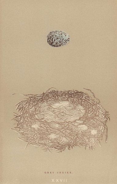BRITISH BIRD EGGS & NESTS. Grey Shrike. MORRIS 1896 old antique print picture