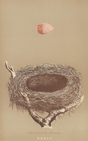 BRITISH BIRD EGGS & NESTS. Red-Backed Shrike. MORRIS 1896 old antique print